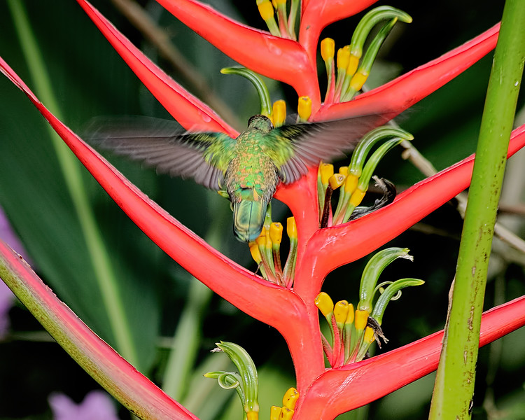 Green-crowned Brilliant Hummingbird - Female