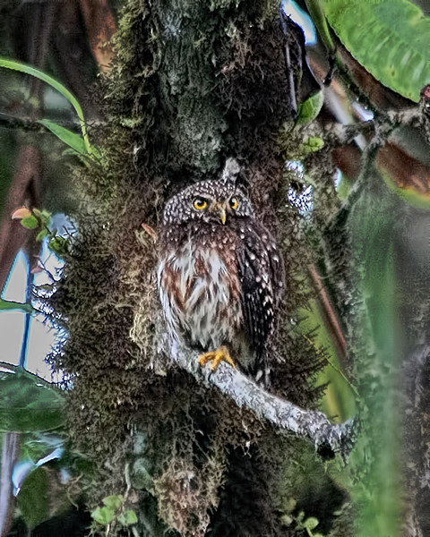Cloud-forest Pygmy Owl