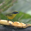 Thick-billed Euphonia - Immature