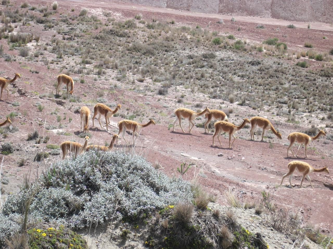 Alpacas Near Chimbarazo