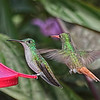Andean Emerald and Rufous-tailed Hummingbirds