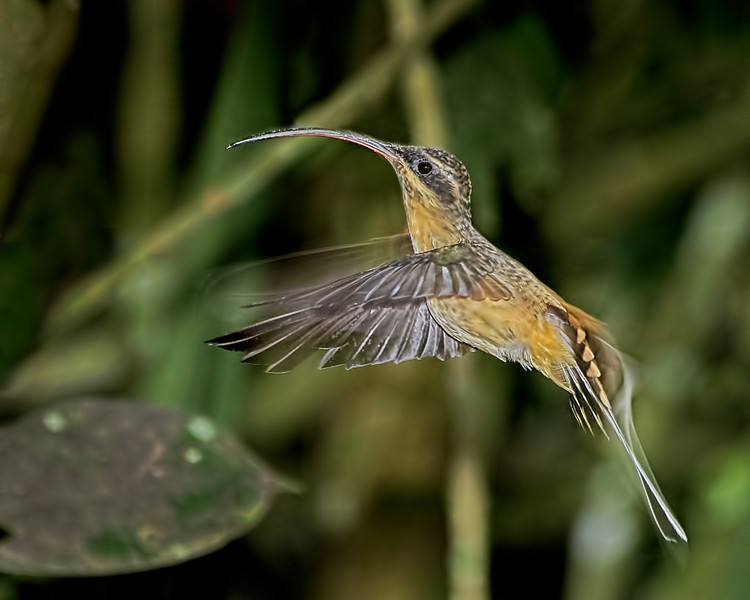 Tawny-bellied Hermit Hummingbird