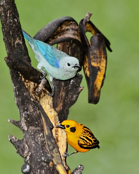 Blue-gray Tanager - Golden Tanager