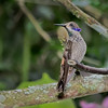 Brown Violetear Hummingbird