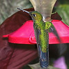 Green-crowned Brilliant Hummingbird