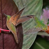 Fawn-breasted Brilliant and Rufous-tailed Hummingbirds
