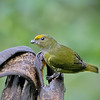 Orange-bellied Euphonia - Female