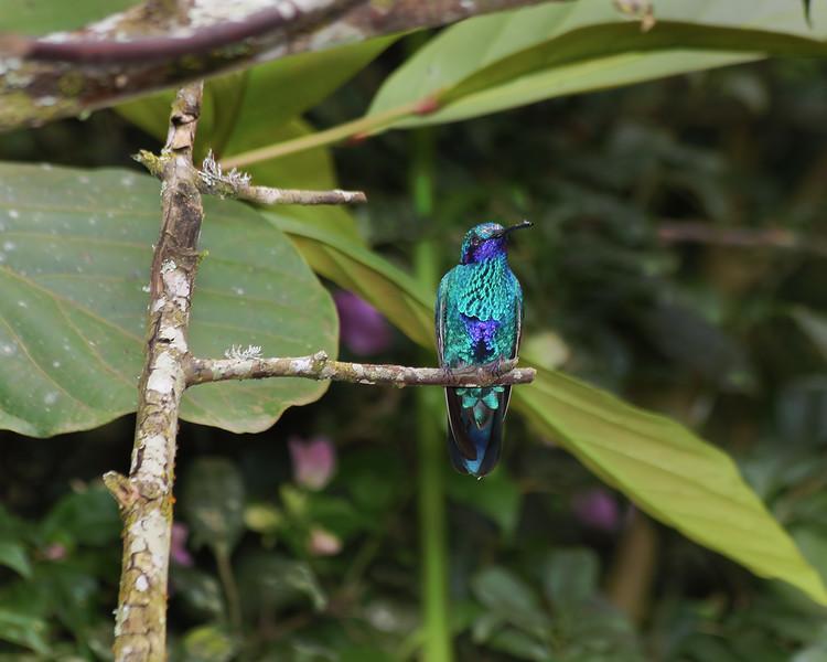 Sparkling Violetear Hummingbird