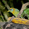 Red-headed Barbet - Female