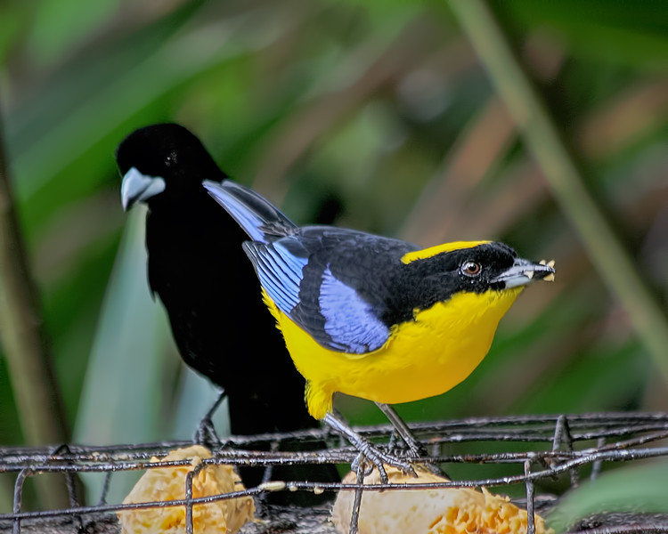 Blue-winged Mountain Tanager and Lemon-rumped Tanager