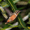 White-bellied Woodstar Hummingbird