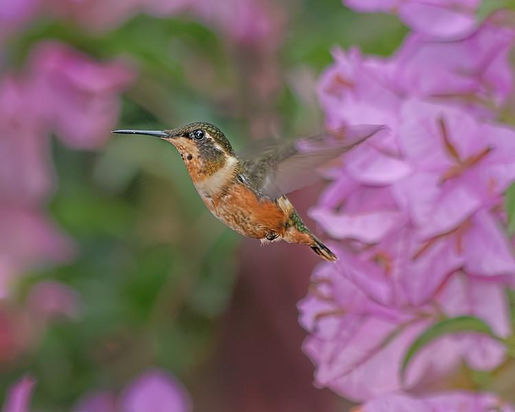 White-bellied Woodstar Hummingbird