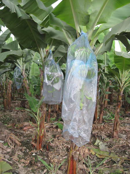 Organic Banana Plantation