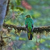 Golden-headed Quetzal - Female