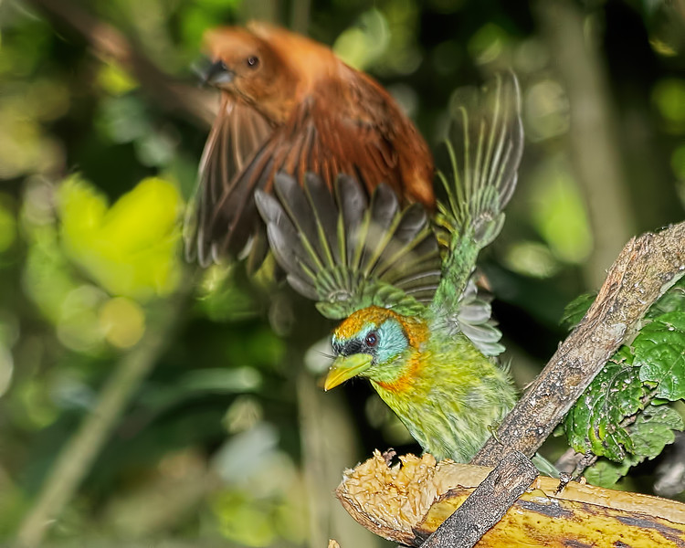 Red-headed Barbet - Female - and One-colored Becard - Female