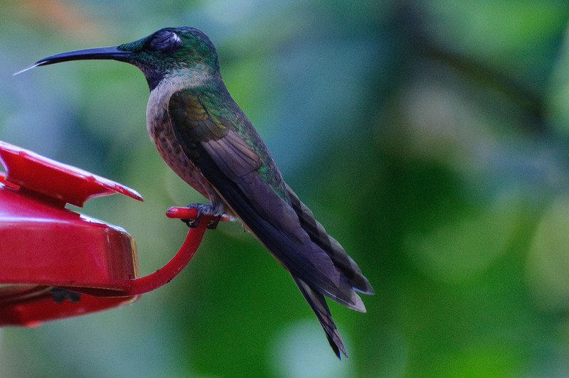 Hummingbirds at Sachatamia