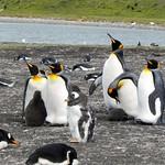 Bluff Cove Penguins – Falkland Islands – Photo