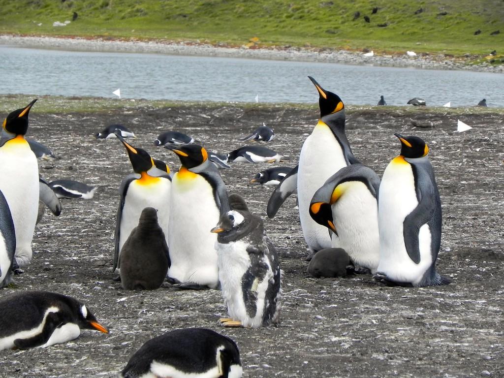 Bluff Cove Penguins - Falkland Islands - Photo