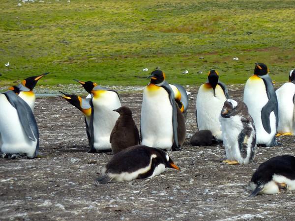 Falkland Islands Penguins