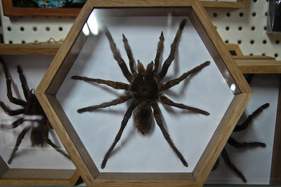 Souvenir tarantulas by the dozens...ewww...