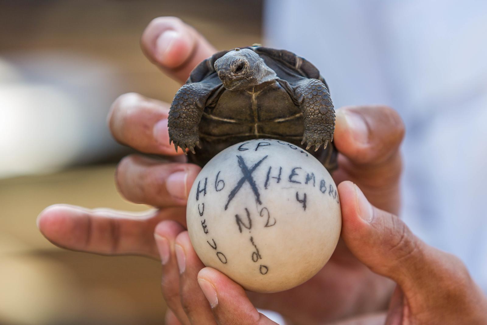 Saving the Giant Tortoises of the Galapagos on Santa Cruz.