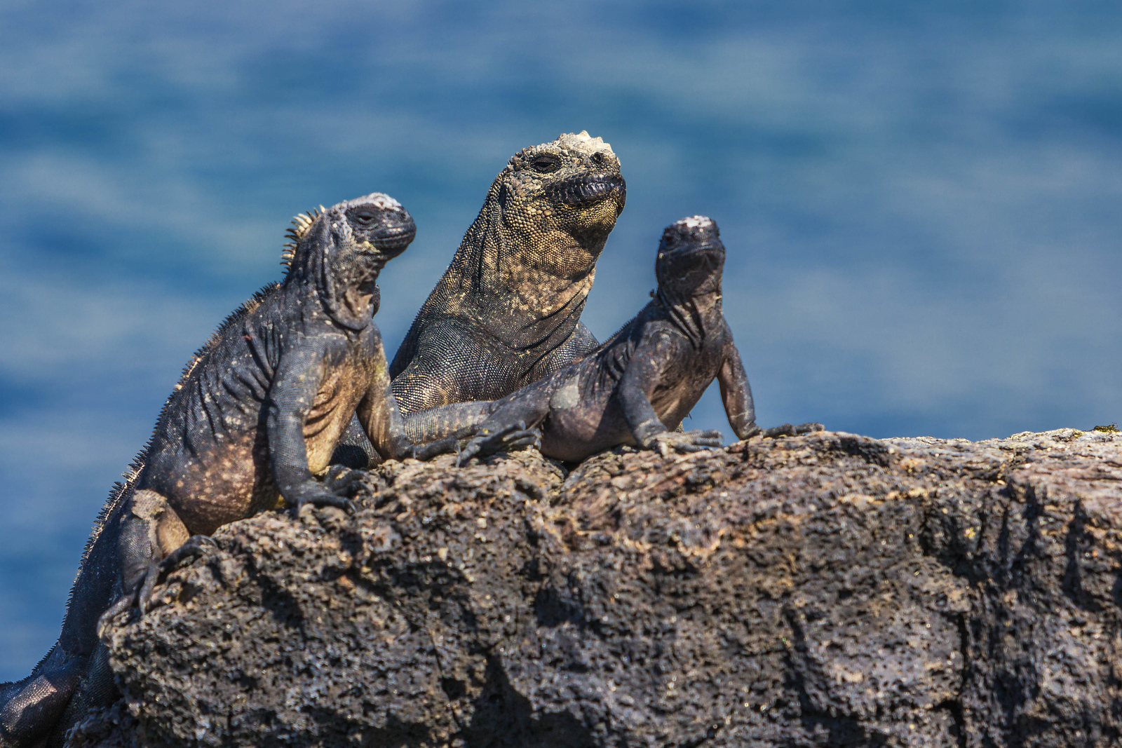 The Galapagos Marine Iguana is only found here.