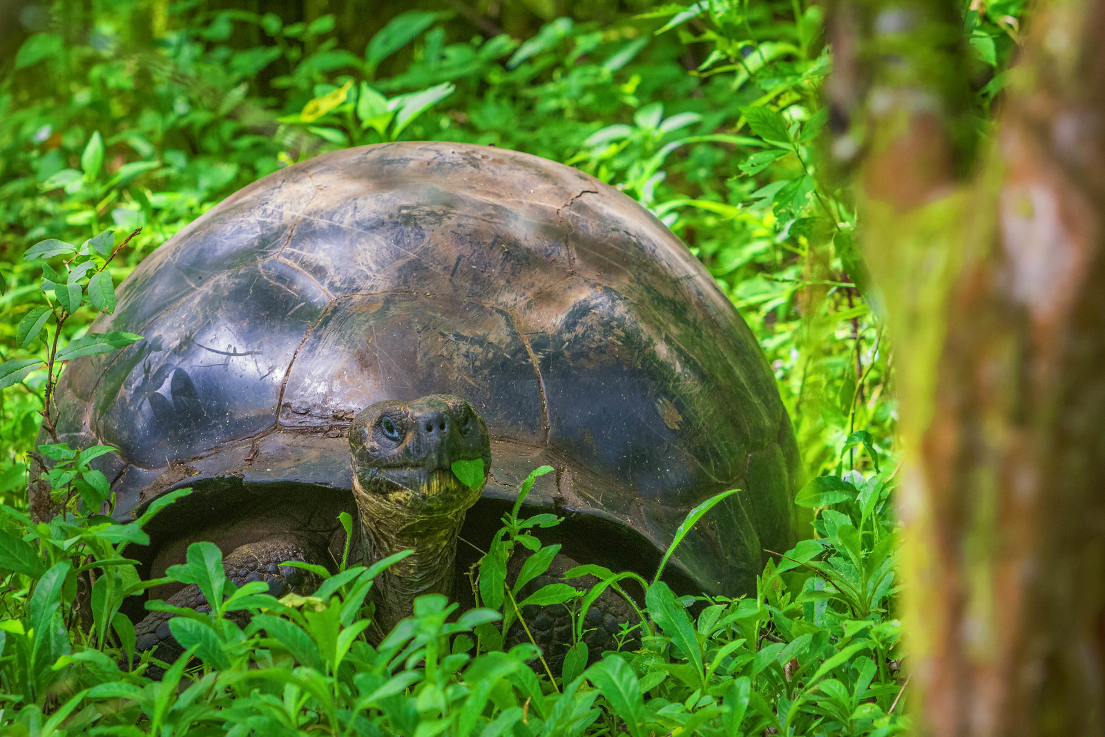 The Giant Tortoise is everywhere on the Galapagos Islands. Especially on Santa Cruz and Isabela Island.