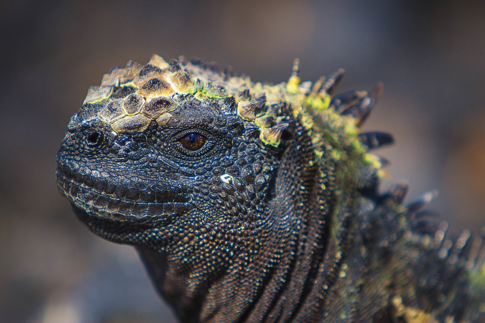 A closeup of the Marine Iguana in the Galapagos Islands