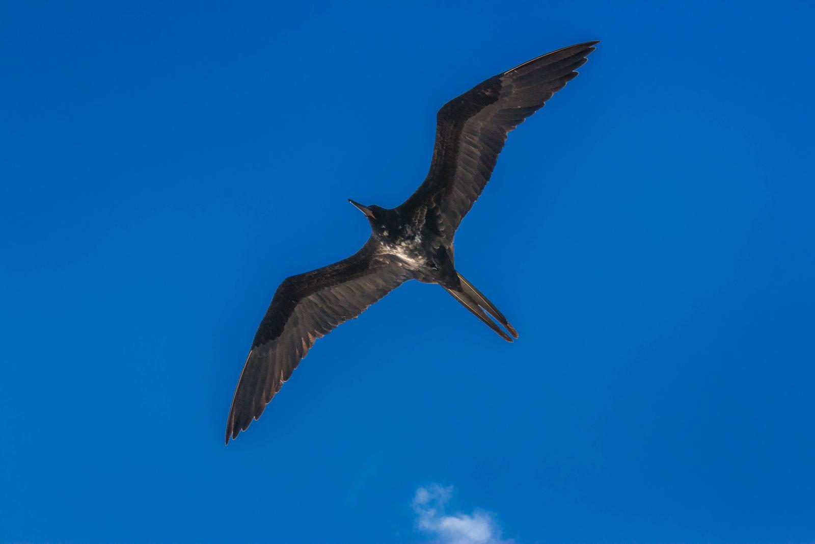 The Galapagos Tern