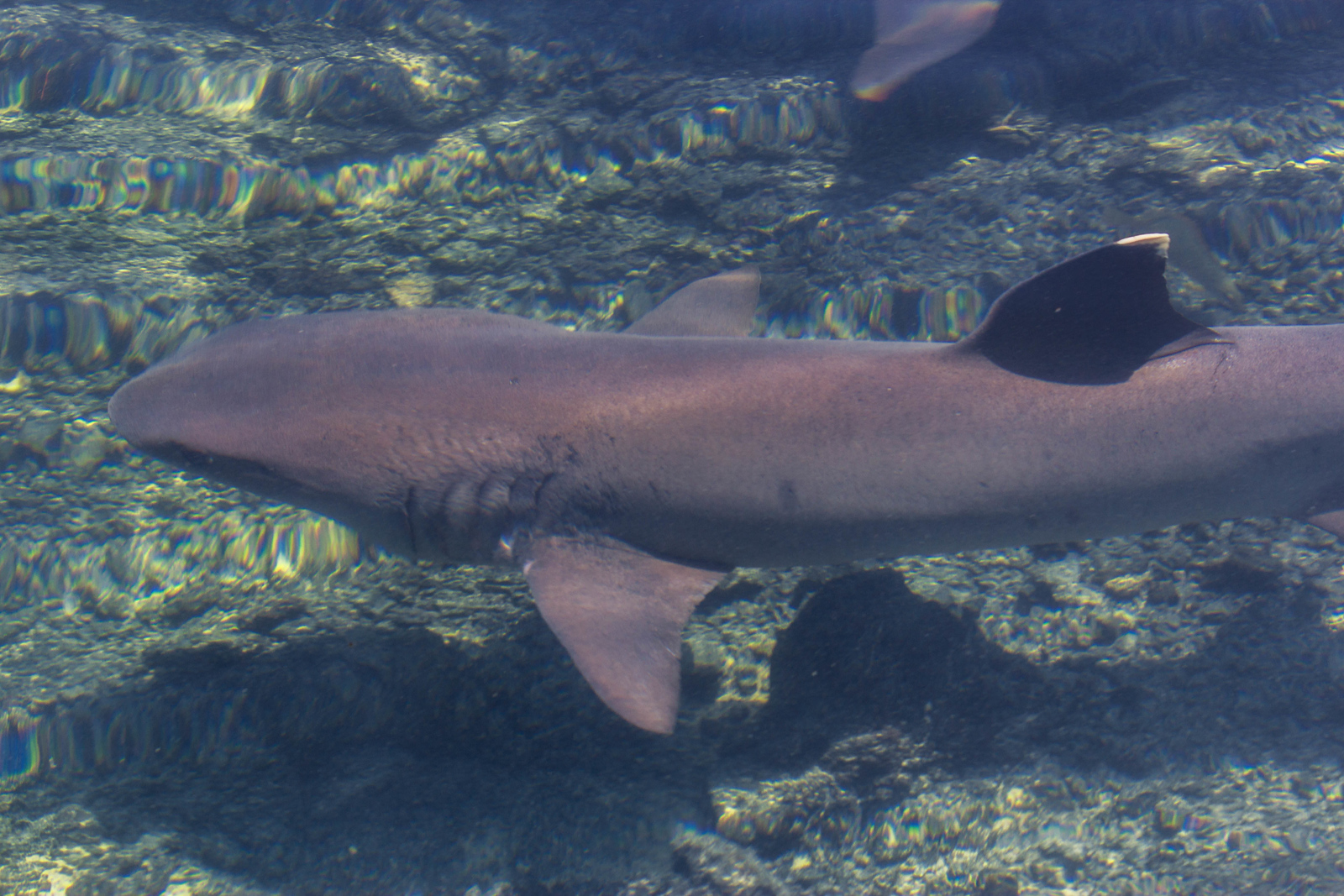 The White tipped reef shark in the Galapagos.