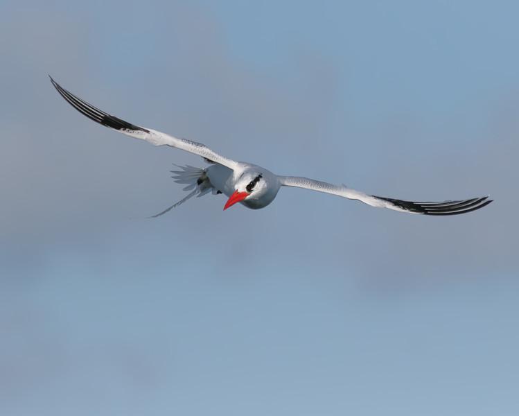 Red-billed Tropicbird - Galapagos