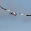 Red-billed Tropicbird - Galapagos