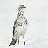Espanola (Hood) Mockingbird