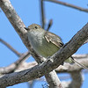 Galapagos Flycatcher
