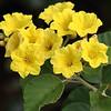 Yellow Geiger