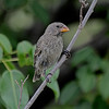 Medium Ground Finch - Female