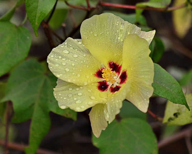Hibiscus or Cotton Flower