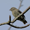 Small Ground Finch - Female