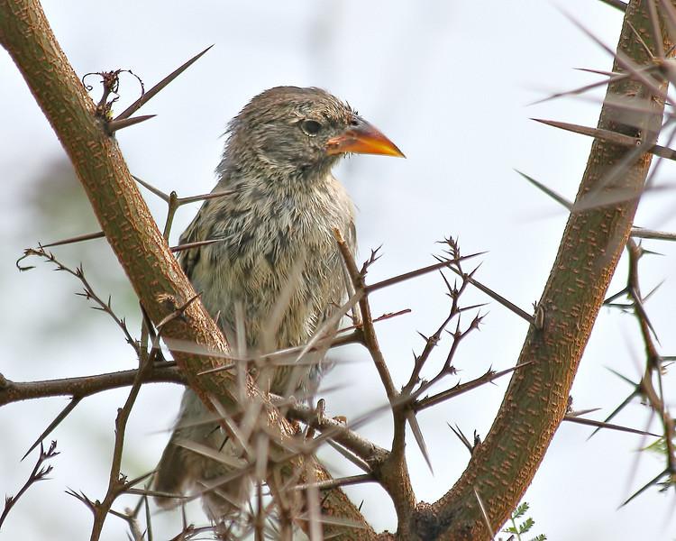 Sharp-beaked Ground Finch - Juvenile