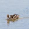 White-cheeked Pintail Duck
