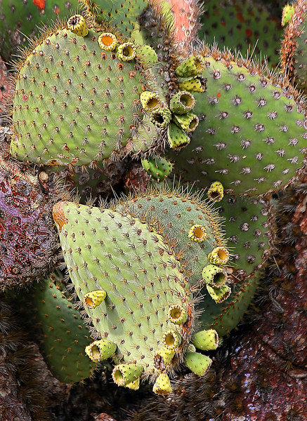Giant Prickly Pear Cactus