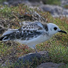 Swallow-tailed Gull - Juvenile