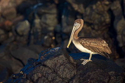 brown pelican on black rock