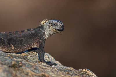 profile of a lava lizard