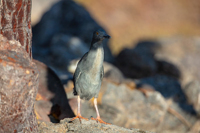 lava heron standing tall