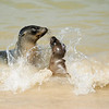 Baby sea lions at play