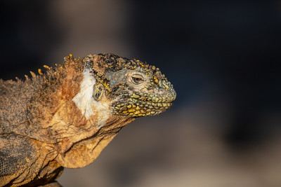 profile of a marine iguana