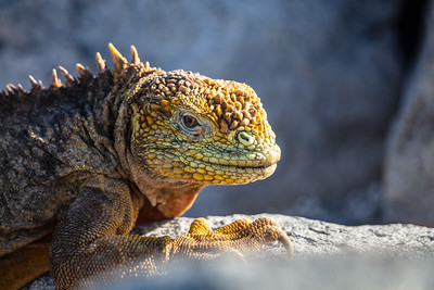 eye contact with a land iguana