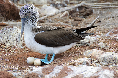 Blue-footed Booby with Eggs