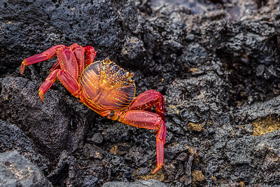 lava crab on lava